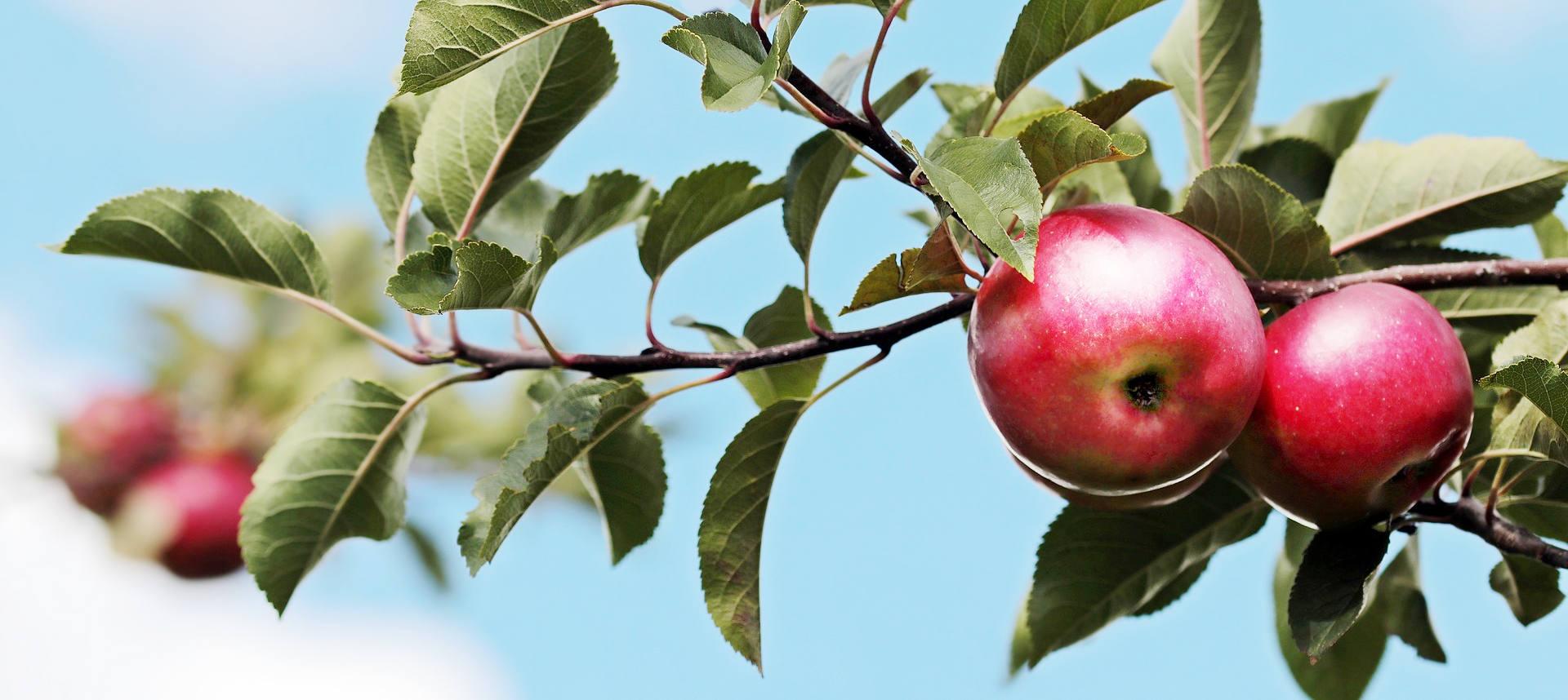 pommes dans un pommier